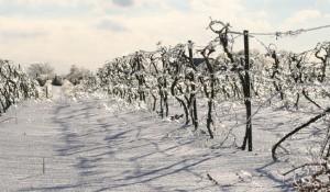 Ice Grapevines